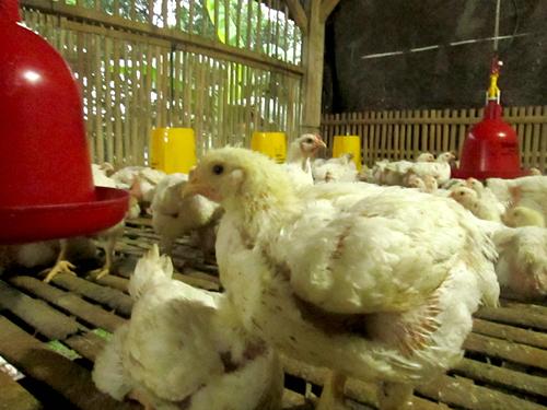 Ayam Probiotik yang Sehat dan Banyak Dagingnya